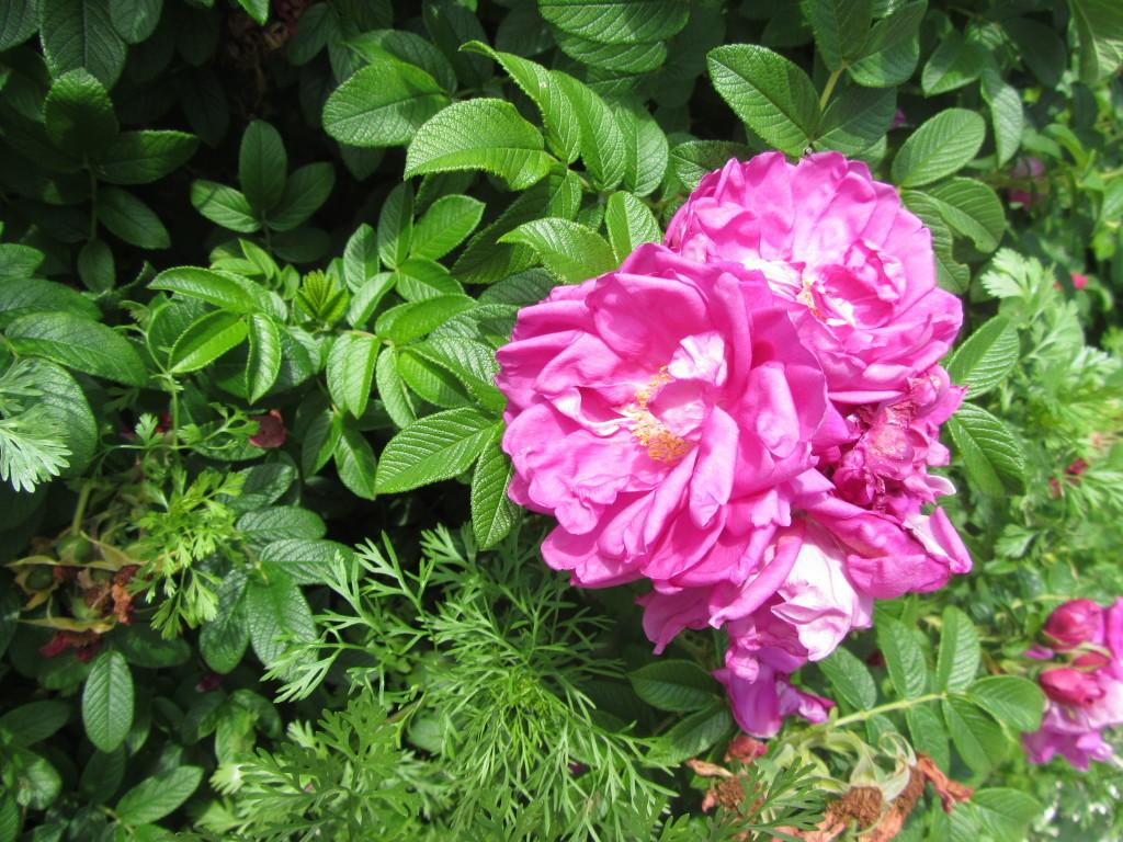 Huge and beautiful magenta flowers
